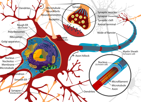 481px-Complete_neuron_cell_diagram_en_svg