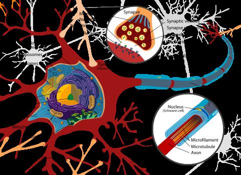 481px-Complete_neuron_cell_diagram_en_svg